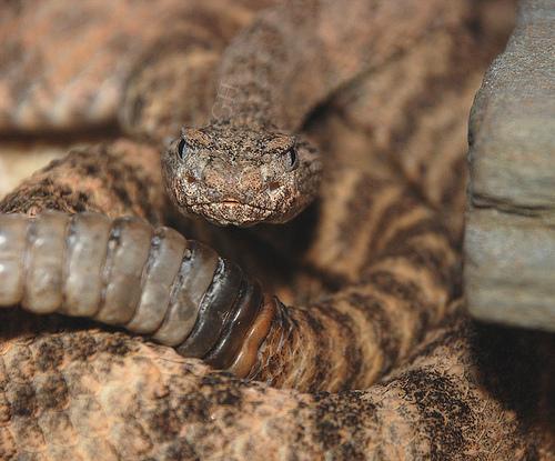 Snake Eyes Hd Wallpapers Snakes Tiger Rattlesnake
