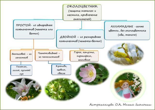stroenie-okolocvetnika-i-chashechki-cvetka-magija-biologii-shema