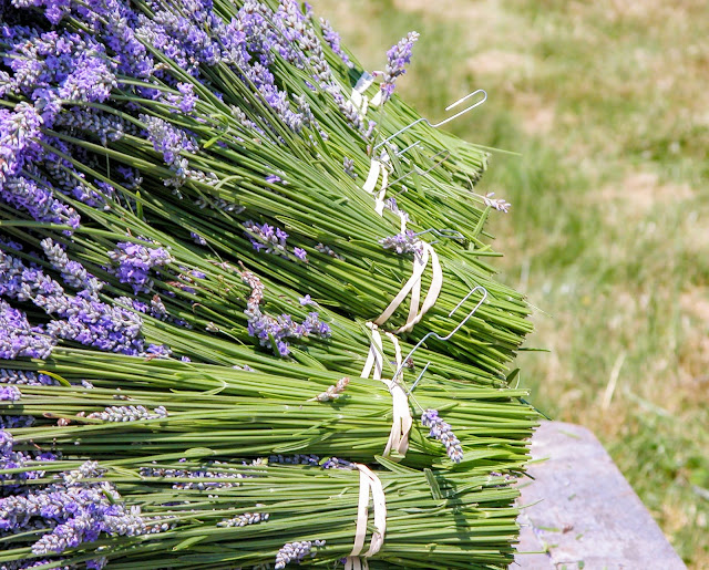 Fresh Fragrant Lavender Bundles at Pelindaba Lavender Farm
