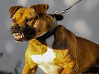 comment dresser un chien agressif avec les autres chiens