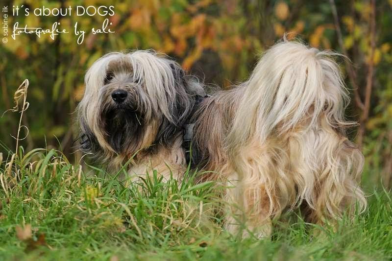 Tibet Terrier Chiru