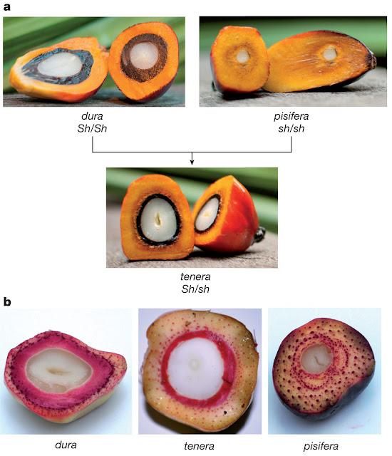 Varietà di Palma da Olio