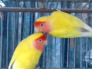 jenis burung lovebird, jenis lovebird