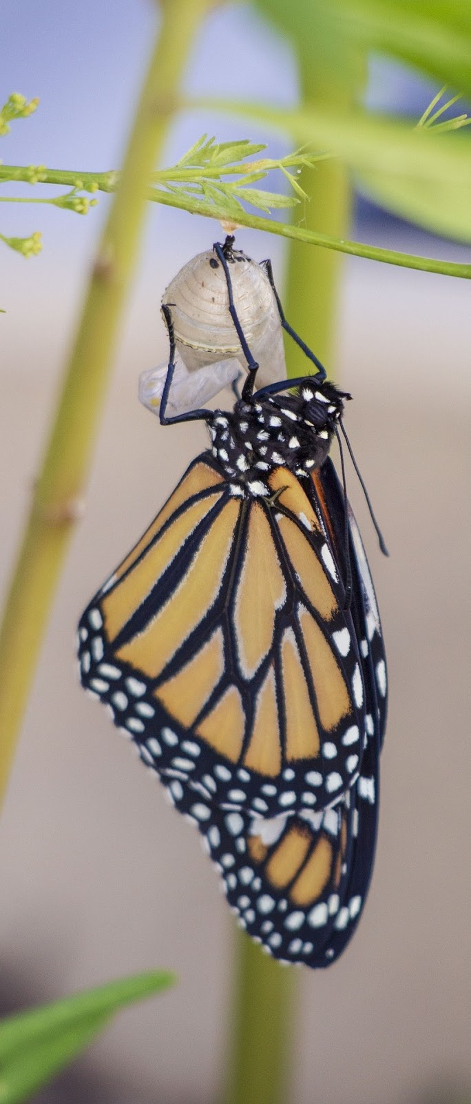 A monarch butterfly after metamorphosis.
