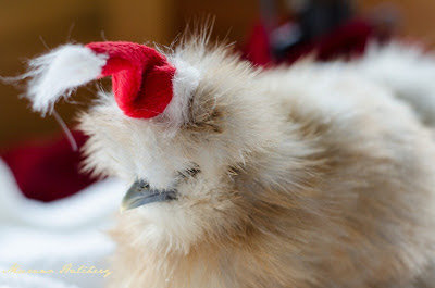 chicken with santa hat on