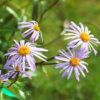Gambar Bunga Aster yang Cantik 2