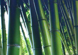 bambu-talang,www.healthnote25.com