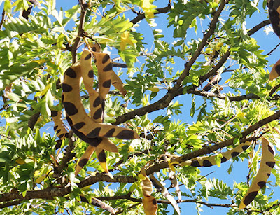 Vainas coan fruto de la acacia de tres espinas (Gleditsia triacanthos) border=
