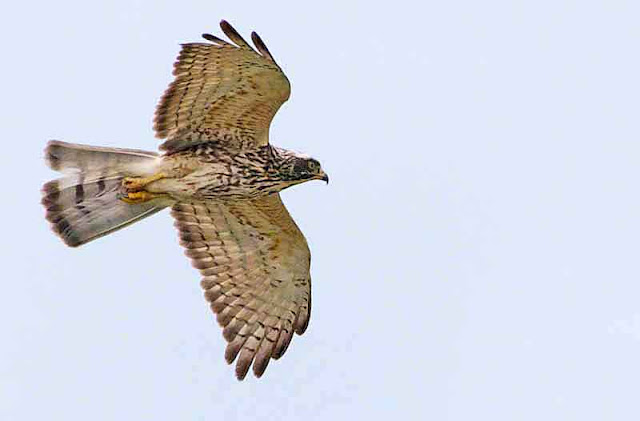 Butastur indicus, bird, Buzzard Eagle, flight