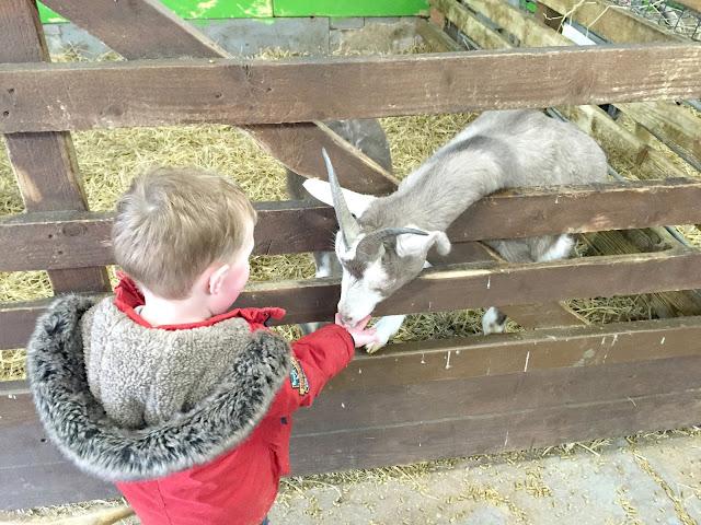 Goat at petting barn Whitehouse farm Morpeth Northumberland