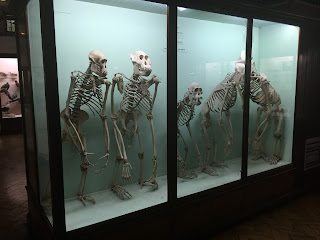 Horniman Museum Skeletons display