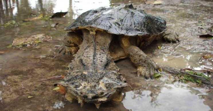 Mata mata kaplumbağası, Amazon ve Orinoco havzalarında yaşayan değişik bir sürüngendir.