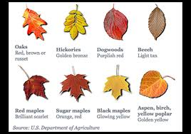 The Bright Reds And Purples We See In Leaves Are Made Mostly Fall Some Trees Like Maples Glucose Is Tred After Photosynthesis