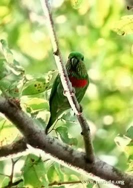 salah satu burung endemik Indonesia ini dikenal dengan nama  Menngenal Burung Nuri-ara Salvadori