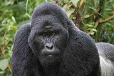 Gorilla trekking in Congo, Gorilla safaris in Congo