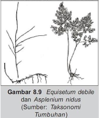 Equiselum Debile dan Asplenium Nidus