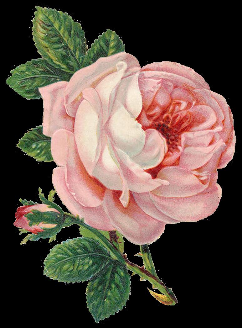 Vintage Rose Images 68
