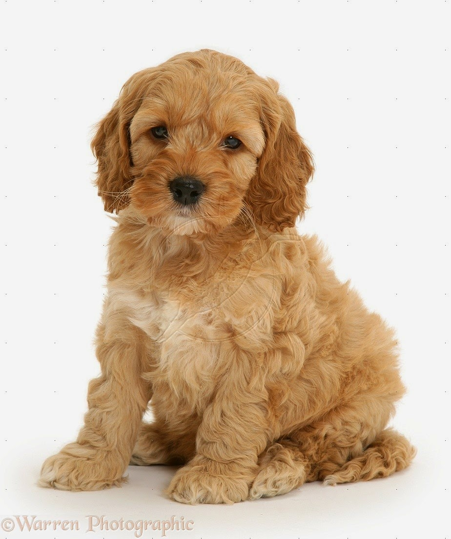 Cute Cockapoo Puppies Pictures - Pictures Of Animals 2016