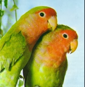 lovebird peach faced
