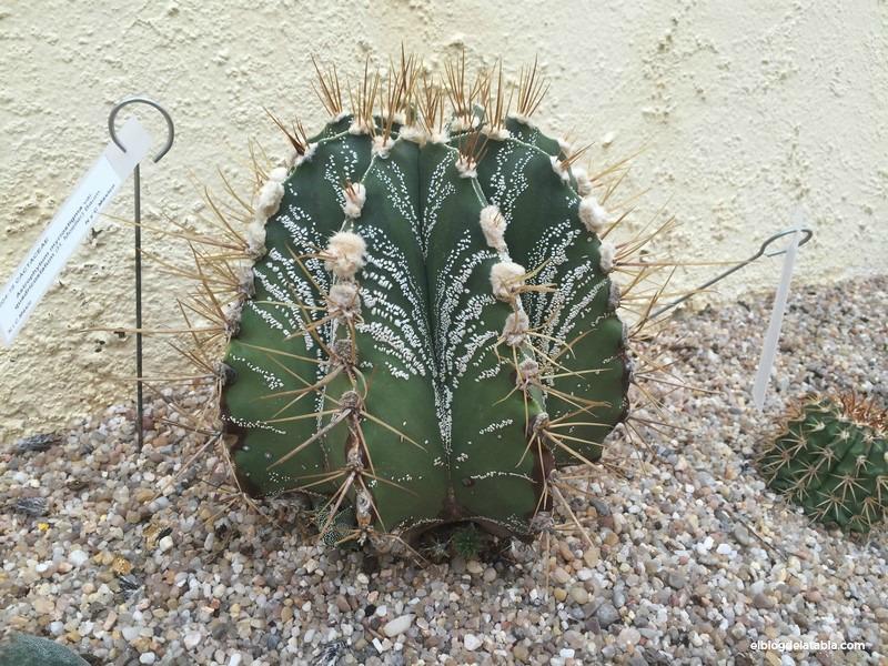 Astrophytym myriostigma var. quadricostatum (H. Moeller) Baum
