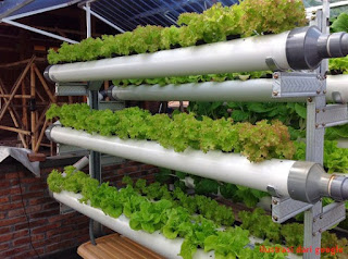 Bisnis tanaman hidroponik selada