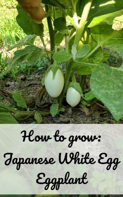 Japanese white egg eggplant