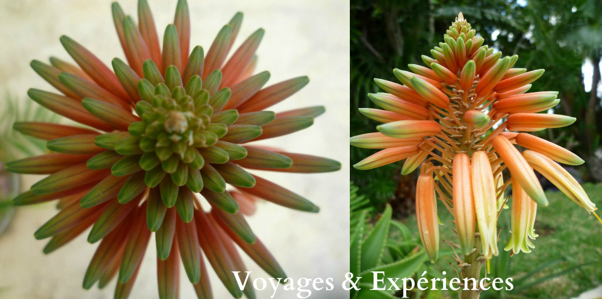 Connu Voyages et Expériences : Fleurs de l'Ile Maurice: Beautés de la  KW08