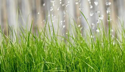 C mo plantar o sembrar c sped la huerta de ivan - Cuando plantar cesped ...