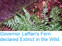 http://sciencythoughts.blogspot.co.uk/2014/06/governor-laffans-fern-declared-extinct.html