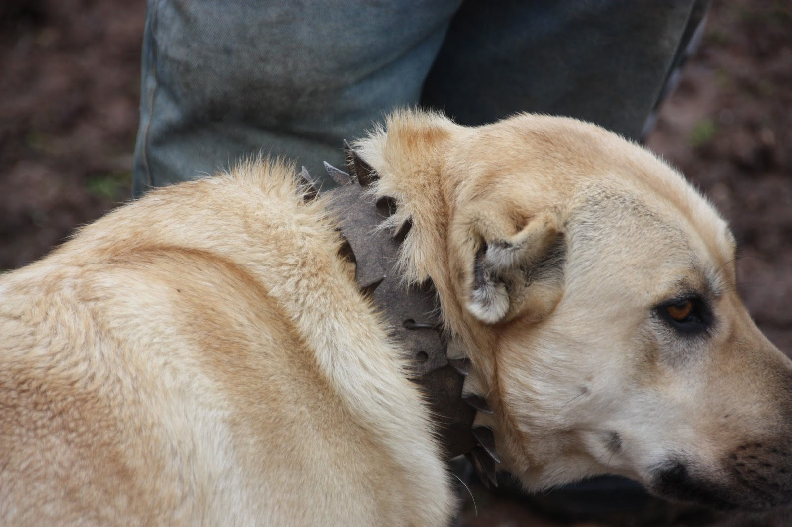 How to protect a dog (a bitch) during estrus from males