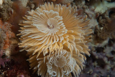 feather-duster-worm