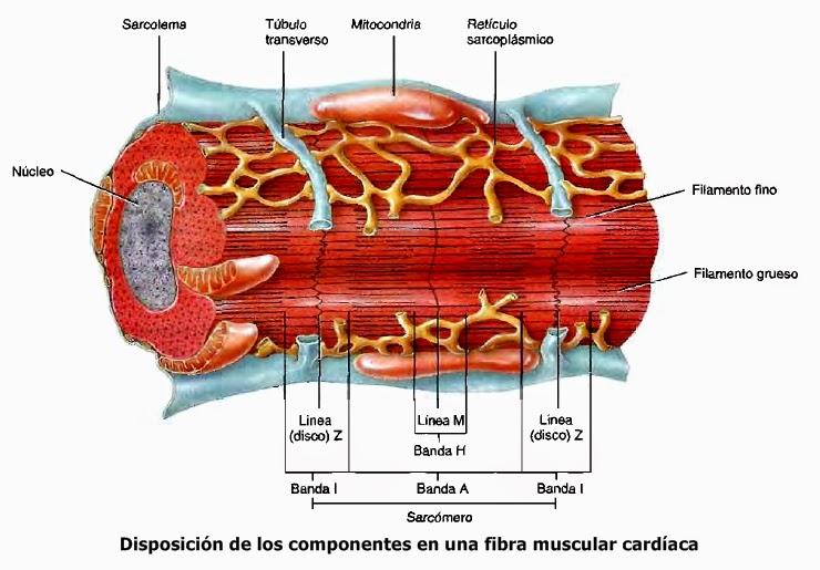 Tejido muscular cardíaco y sistema de conducción cardíaco