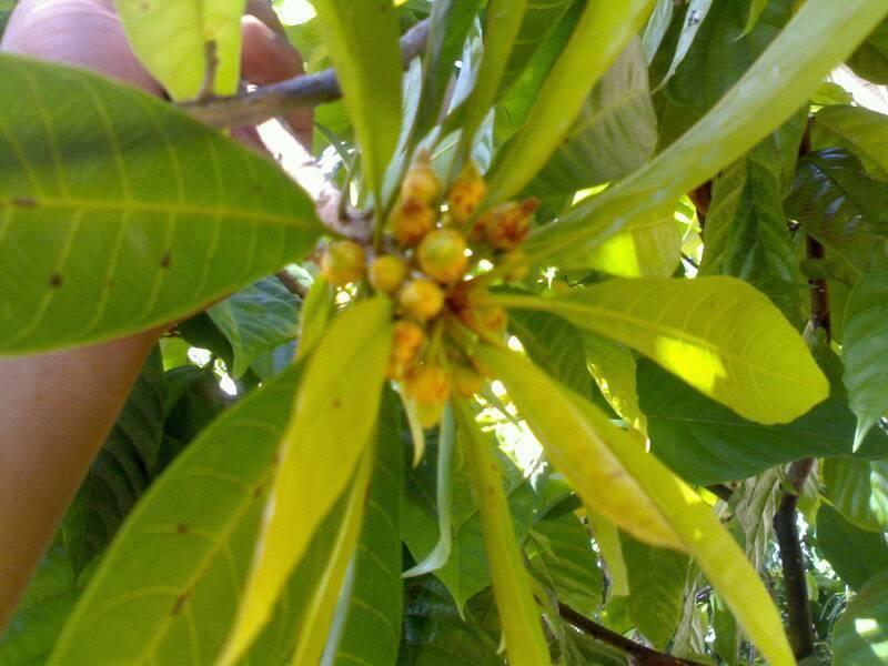 bunga pohon sawo mentega