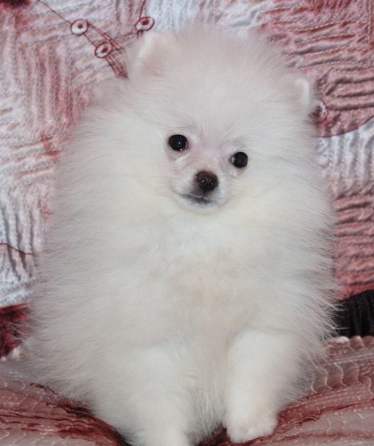 Anjing Mini Pom Putih Rawan Terkena Penyakit Mengapa Bisa Begitu Saya Juga Tidak Mengetahui Nya Mungkin Ini Dikarenakan Anjing Mini Pom Putih Memiliki