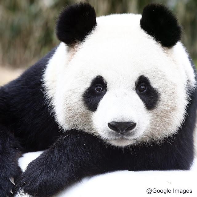 Panda atau panda raksasa