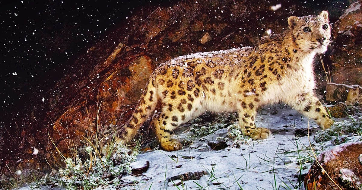 Fondo De Pantalla De Leopardo Fondos De Pantalla Gratis: Fondo De Pantalla Animales Leopardo En La Nieve
