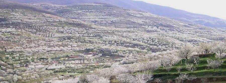 La floración de los cerezos en el Valle del Jerte