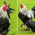 Ayam Terbesar di Dunia Tinggi 66 Cm, Luar Biasa Besar Ayam Raksasa ini!