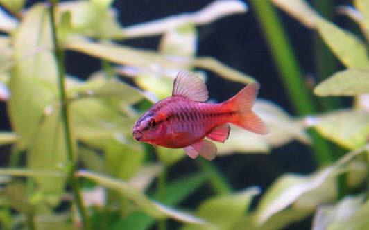 Cherry Barb - Red Fish in Aquarium