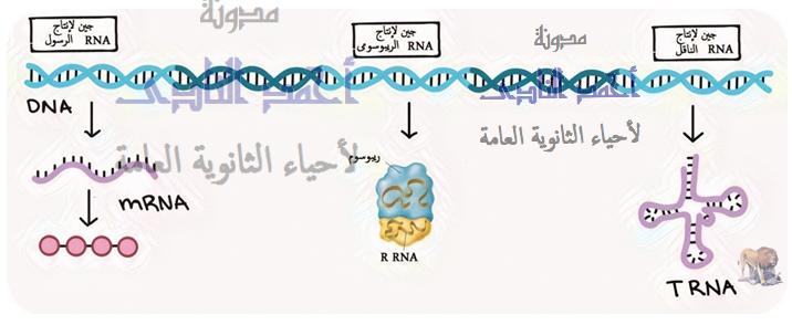 المحتوى الجينى لفرد ما - dna