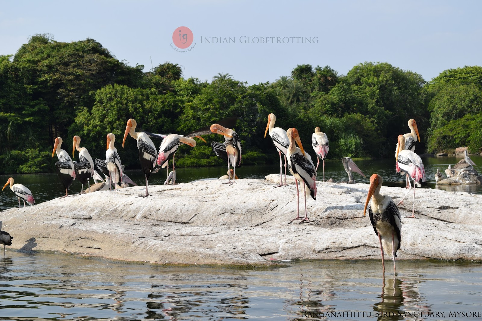 Painted Stork in Ranganathittu Bird Sanctuary
