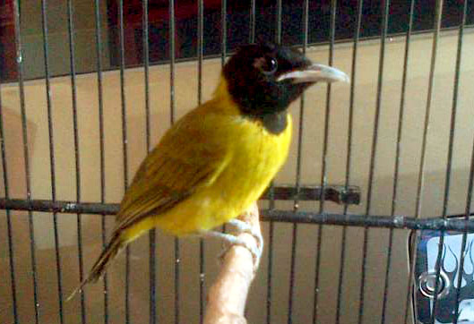 Cara Merawat Burung Samyong