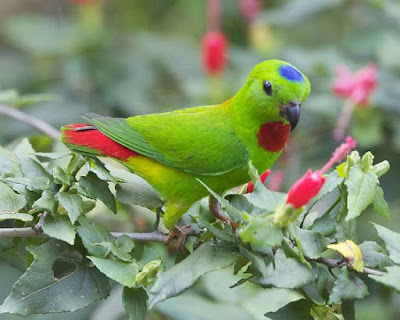 blue crown hanging parrot upclose