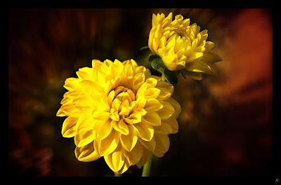 flor-de-abundantes-petalos-de-color-amarillo