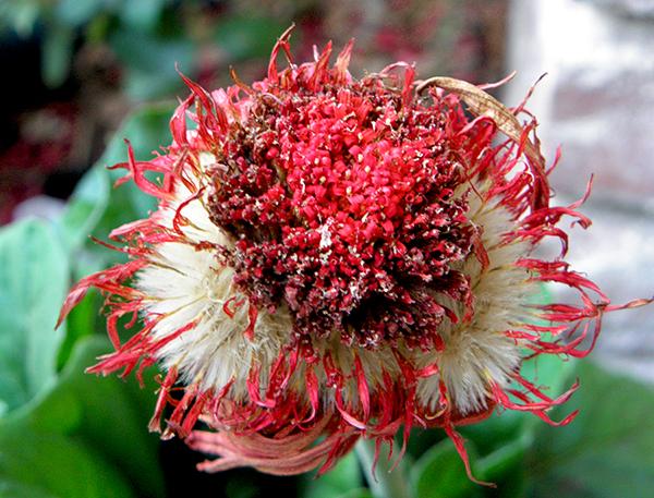 Gerbera Daisy Seed Head with Shriveled Petals