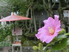 海蔵寺のフヨウ