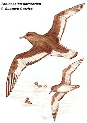 aves marinas de Argentina Petrel antártico Thalassoica antarctica
