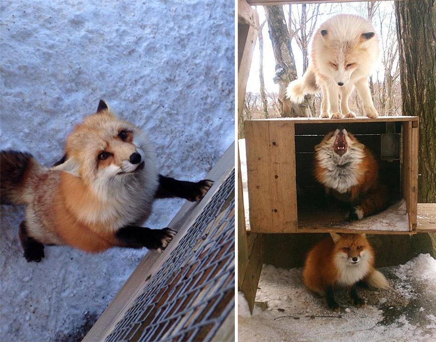 zao-fox-village-japan-10