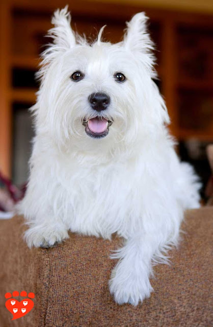 A guide to positive reinforcement dog training for dogs like this cute white dog on the settee