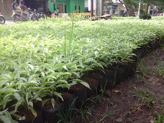 sarbena daun putih